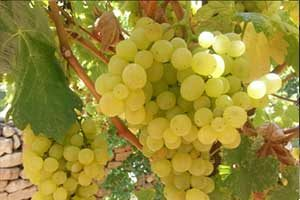 Merwah Grapes