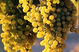 Obeidi Grapes
