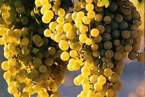 Obeidi Grapes